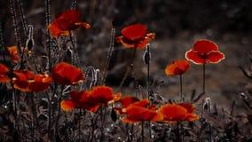 Πανόραμα, οριζόντια καλωδίωση Συλλέξτε το νέκταρ από ένα λουλούδι παπαρουνών απόθεμα βίντεο