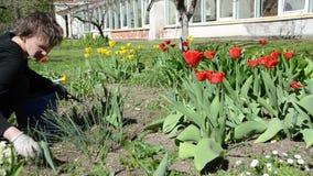 Πανόραμα της εργασίας κοριτσιών κηπουρών μεταξύ των κρεβατιών λουλουδιών τουλιπών φιλμ μικρού μήκους