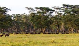 Πανόραμα της σαβάνας Τοπίο με τους βούβαλους Nakuru, Κένυα Στοκ φωτογραφία με δικαίωμα ελεύθερης χρήσης