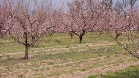 Πανόραμα της φυτείας των ανθίζοντας οπωρωφόρων δέντρων απόθεμα βίντεο