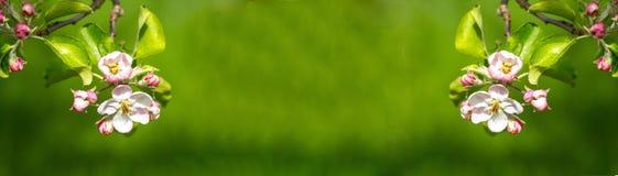 Πανόραμα της Apple Blossum Στοκ Φωτογραφία