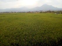Πανόραμα του πεδίου ρυζιού στοκ εικόνες