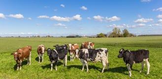 Πανόραμα των αγελάδων στο ολλανδικό τοπίο Στοκ εικόνα με δικαίωμα ελεύθερης χρήσης