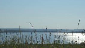 Πανόραμα: φυσικές απόψεις της φύσης Ταλαντεύσεις χλόης στο υπόβαθρο του ποταμού απόθεμα βίντεο