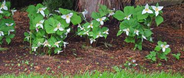 Πανόραμα Trilliums άνοιξης στοκ εικόνες