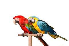 παπαγάλοι δύο Στοκ Εικόνες