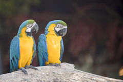 παπαγάλοι ζευγαριού στοκ φωτογραφία με δικαίωμα ελεύθερης χρήσης