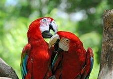 παπαγάλοι ζευγαριού Στοκ Φωτογραφίες