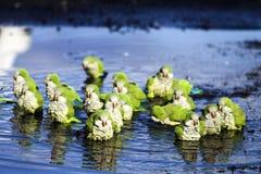 παπαγάλοι λουσίματος στοκ φωτογραφία