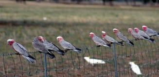 παπαγάλοι της Αυστραλίας galah Στοκ εικόνα με δικαίωμα ελεύθερης χρήσης