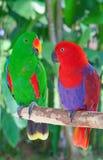 Παπαγάλοι της Lori στοκ φωτογραφία
