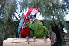Παπαγάλοι φιλήματος στοκ φωτογραφία με δικαίωμα ελεύθερης χρήσης