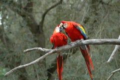 παπαγάλοι Στοκ Εικόνα