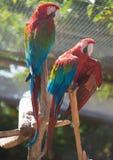 Παπαγάλοι Ara στο δέντρο Στοκ Εικόνες
