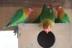 Παπαγάλοι Lovebirds ζευγαριών αναπαραγωγής στο κλουβί στοκ εικόνες