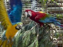 Παπαγάλος κατά τη διάρκεια της πτήσης από τον κλάδο στοκ εικόνα