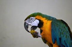 Παπαγάλος που τρώει papaya Στοκ Εικόνες