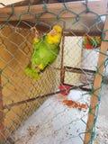 Παπαγάλος στο κλουβί Στοκ Φωτογραφίες