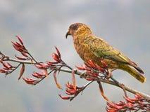 Παπαγάλος της Kea Στοκ Φωτογραφία