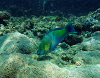 παπαγάλος ψαριών σκουρι&a στοκ φωτογραφία με δικαίωμα ελεύθερης χρήσης