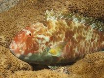 παπαγάλος ψαριών Στοκ φωτογραφία με δικαίωμα ελεύθερης χρήσης
