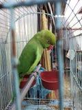 παπαγάλος στοκ φωτογραφίες με δικαίωμα ελεύθερης χρήσης