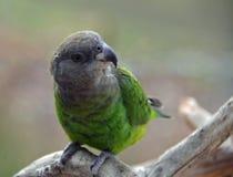 Παπαγάλος στοκ φωτογραφία με δικαίωμα ελεύθερης χρήσης