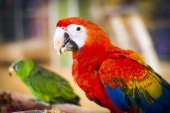 Παπαγάλος Ara στο ζωολογικό κήπο Στοκ Φωτογραφία