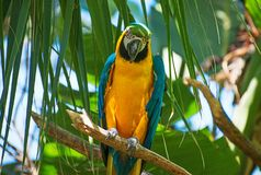 Παπαγάλος Ara Στοκ Φωτογραφίες