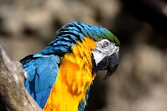 Παπαγάλος Ara στοκ εικόνες με δικαίωμα ελεύθερης χρήσης