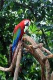 παπαγάλος ara Στοκ Φωτογραφία