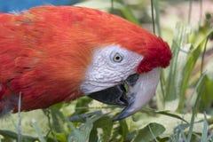 Παπαγάλος Ara macaw στο αγρόκτημα Στοκ Φωτογραφίες