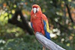 Παπαγάλος Ara macaw στο αγρόκτημα Στοκ φωτογραφίες με δικαίωμα ελεύθερης χρήσης