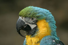 παπαγάλος ararauna Στοκ Φωτογραφίες