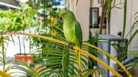 Παπαγάλος Eclectus στο νησί Μαλδίβες στοκ φωτογραφίες με δικαίωμα ελεύθερης χρήσης