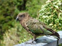 παπαγάλος kea Στοκ Εικόνες