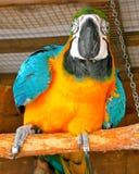 Παπαγάλος Macaw Στοκ Φωτογραφία