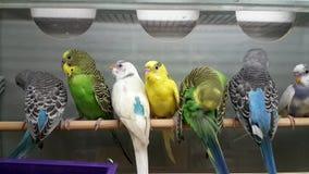 Παπαγάλοι για την πώληση στο κατάστημα φιλμ μικρού μήκους