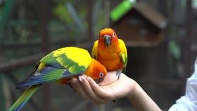 Παπαγάλοι εκμετάλλευσης και σίτισης χεριών - έννοια ζωικής προσοχής Στοκ εικόνες με δικαίωμα ελεύθερης χρήσης