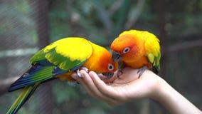 Παπαγάλοι εκμετάλλευσης και σίτισης χεριών - έννοια ζωικής προσοχής Στοκ Εικόνες