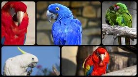 Παπαγάλοι, κολάζ απόθεμα βίντεο