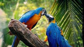 Παπαγάλοι που παλεύουν με μεταξύ τους στον κλάδο απόθεμα βίντεο