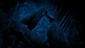 Παπαγάλοι που παλεύουν με μεταξύ τους τη νύχτα απόθεμα βίντεο
