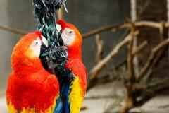 Παπαγάλοι που προσκολλώνται σε ένα σχοινί Στοκ Εικόνες