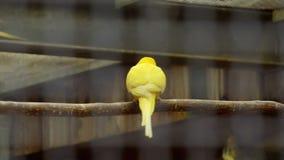 Παπαγάλοι σε ένα παιχνίδι κλουβιών απόθεμα βίντεο