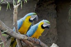 Παπαγάλοι στην πέρκα Στοκ Φωτογραφίες