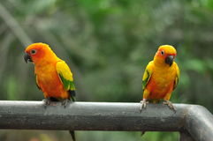 Παπαγάλοι Ταϊλανδός Στοκ φωτογραφία με δικαίωμα ελεύθερης χρήσης