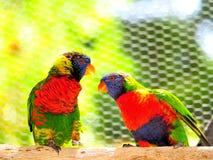 Παπαγάλοι, δύο πουλιά Lorikeet ουράνιων τόξων Στοκ φωτογραφία με δικαίωμα ελεύθερης χρήσης