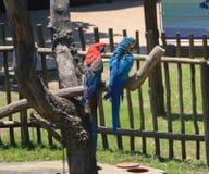 Παπαγάλοι ARA Στοκ φωτογραφία με δικαίωμα ελεύθερης χρήσης
