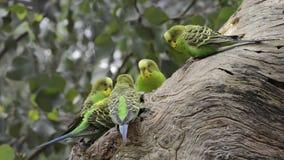 Παπαγάλοι Budgerigar κοντά στη φωλιά απόθεμα βίντεο